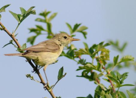 Dimanche 19 mai 2019 – Sortie découverte des oiseaux