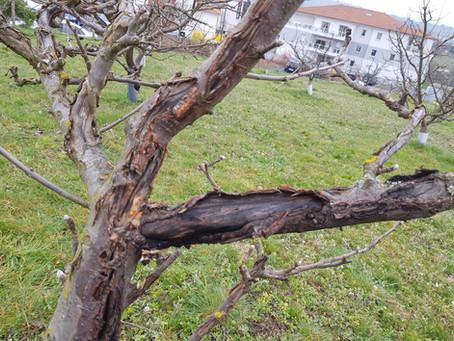 Démonstration de traitement bio des arbres fruitiers