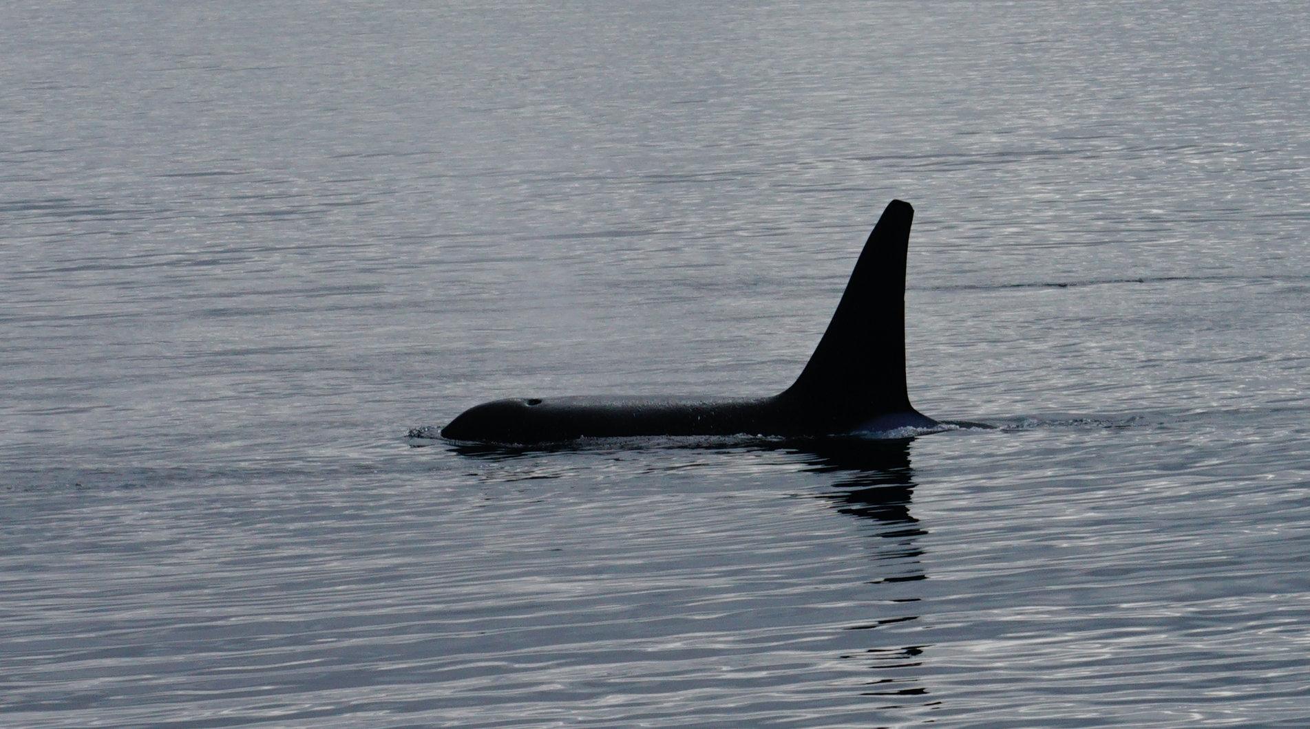 Orca Killerwal (männlich)