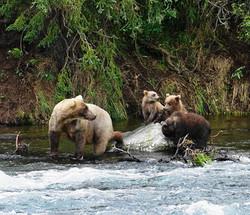 Grizzlybärin mit 3 Jungen