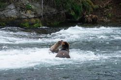 Grizzlybärin verteidigt ihre Jungen
