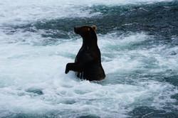 junger Grizzlybär