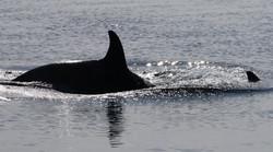 Orca Killerwal (weiblich)