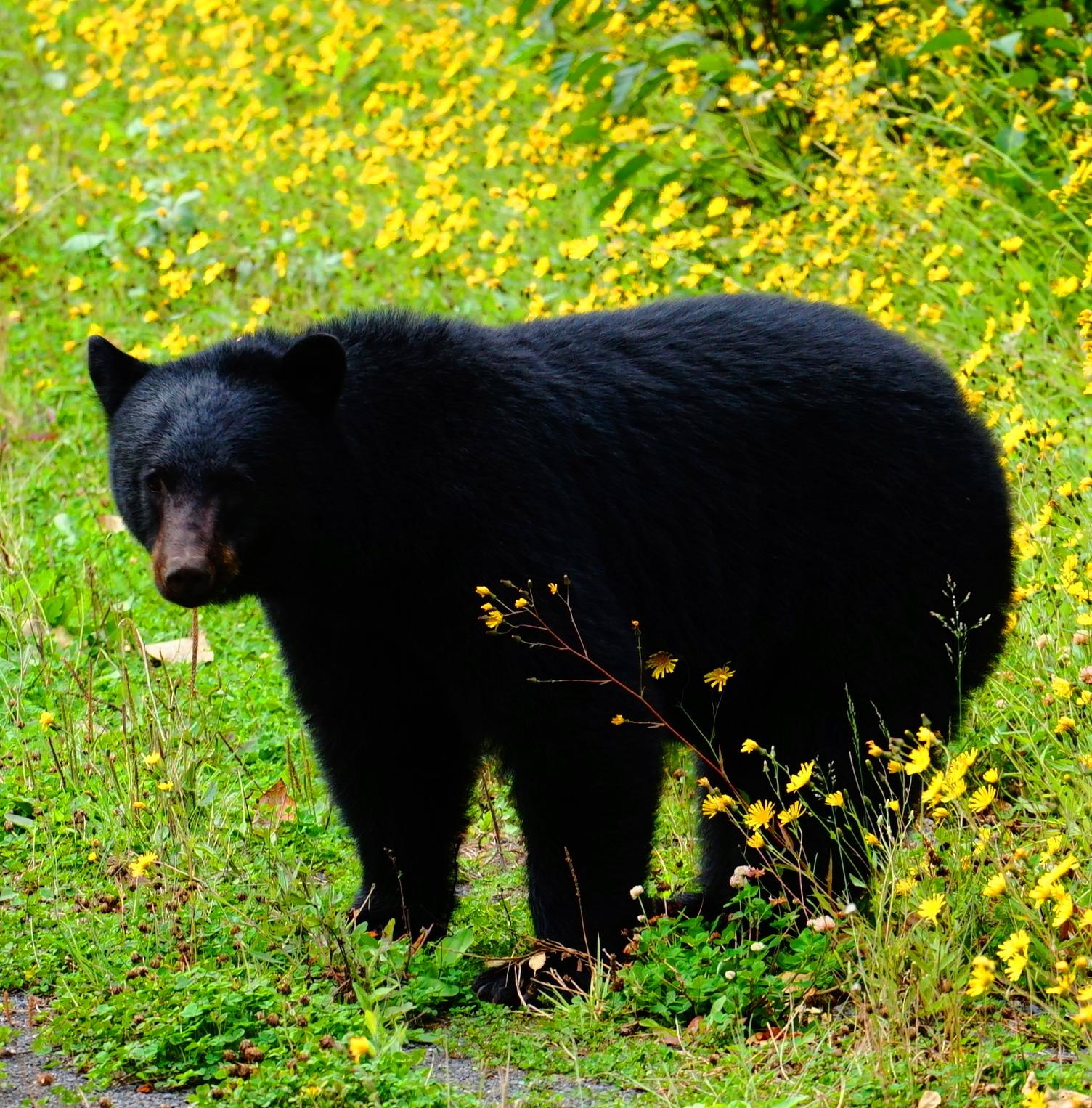Schwarzbär / Männchen