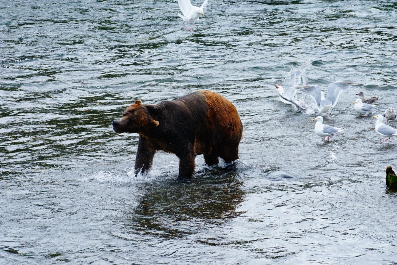 starker Grizzlybär beim Lachsfang