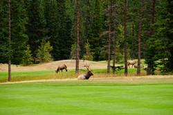 Wapitihirsch auf Golfplatz