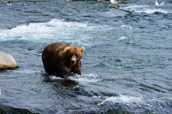 starker Grizzlybär