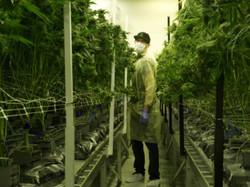 Bond Road Cannabis Cultivation Las Vegas