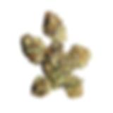 CANNABIOTIX PURPLE PUNCH PLANT PROSE PRO