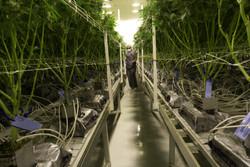 Bond Road Cannabis Las Vegas