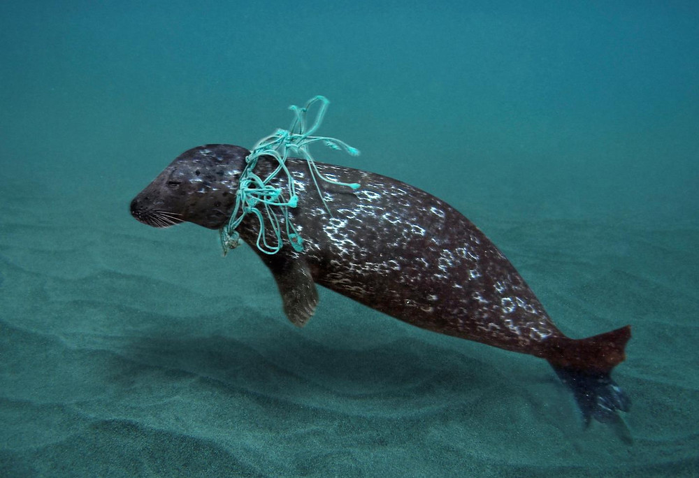 Foca cinzenta com uma rede de pesca presa ao seu pescoço