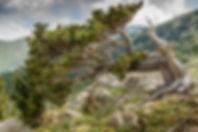 Bristlecone pine trees on Colorado's Mt.