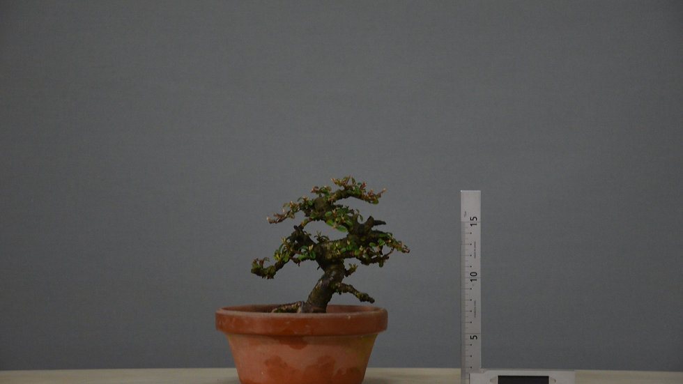 Cotoneaster horizontalis #97