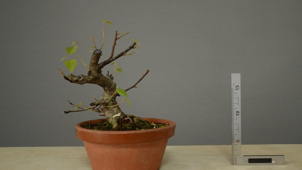 Betula pubescens #33