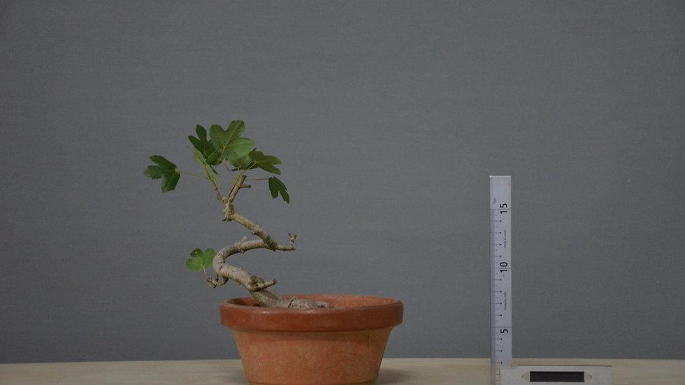 Acer monspessulanum #28