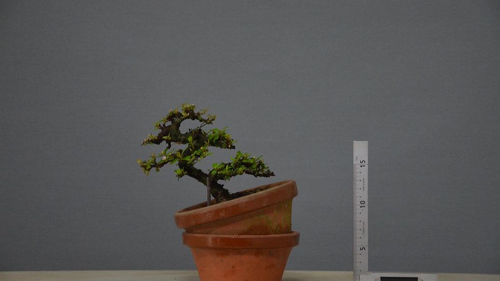 Cotoneaster horizontalis #112