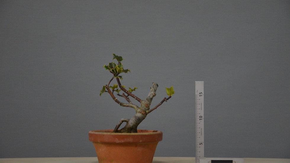 Ilex aquifolium #11