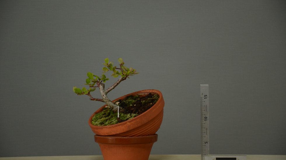 Salix atrocinerea #10