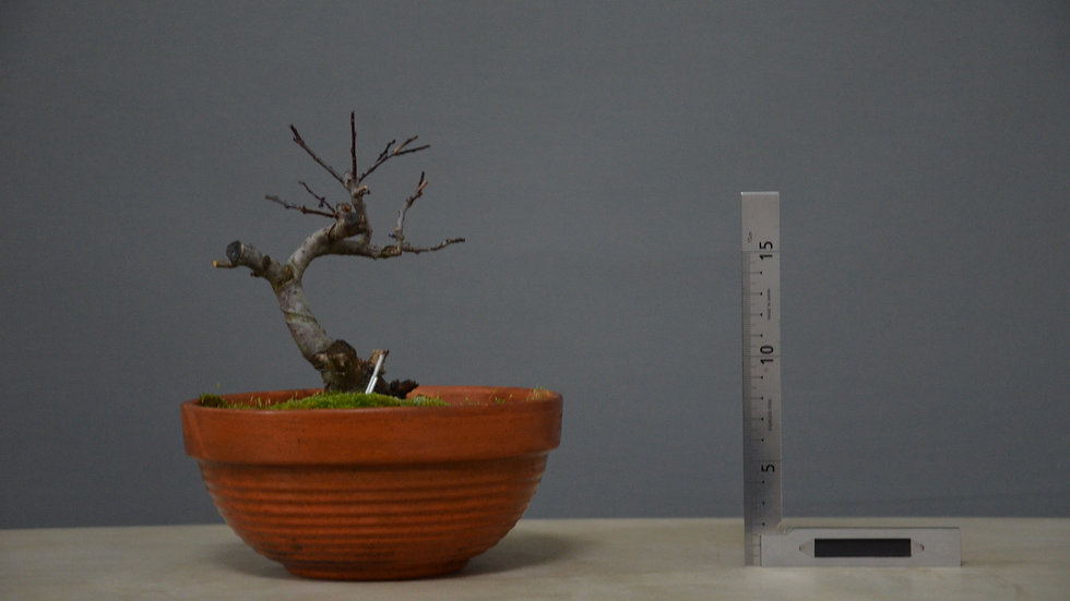 Salix atrocinerea #13