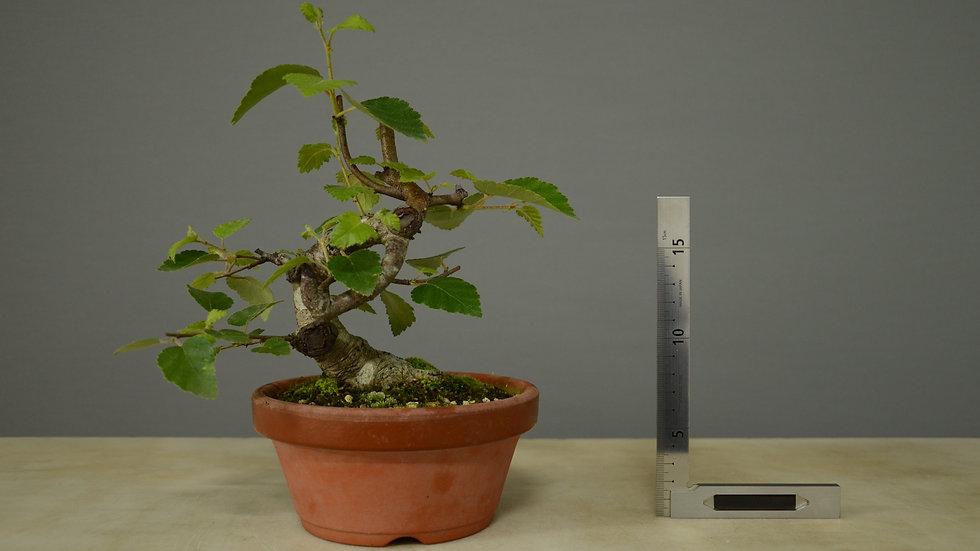 Betula pubescens #3