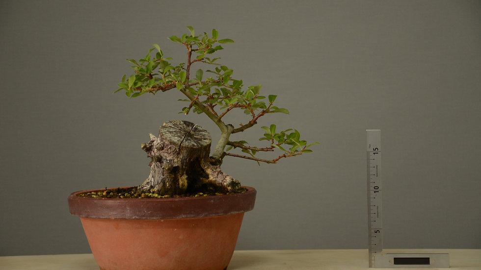 Salix atrocinerea #7