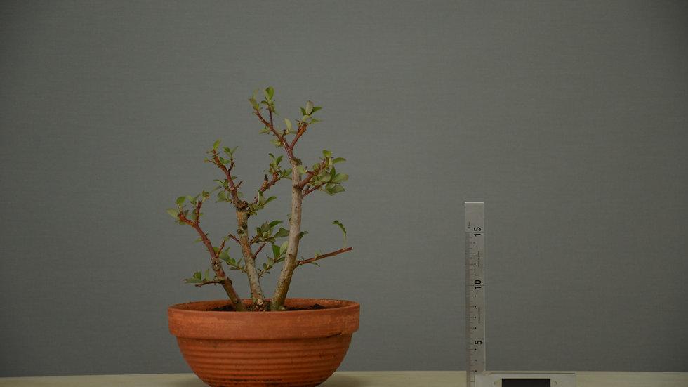 Salix atrocinerea #8