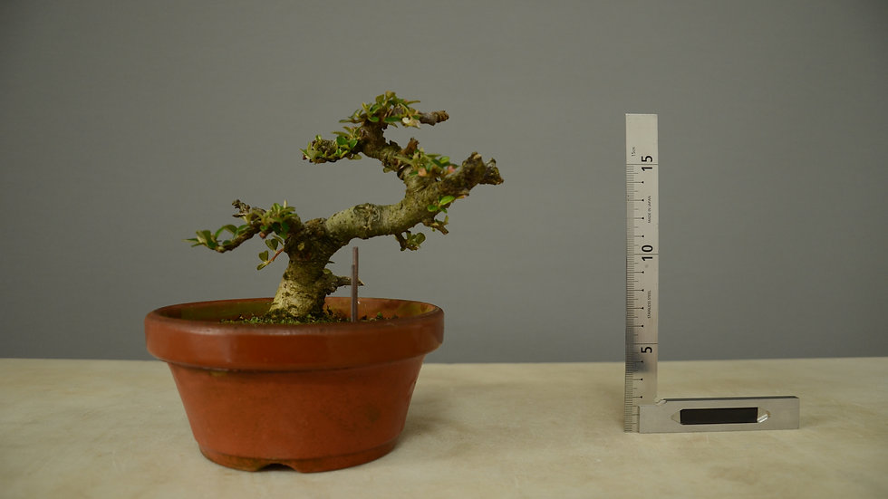 Cotoneaster horizontalis #127