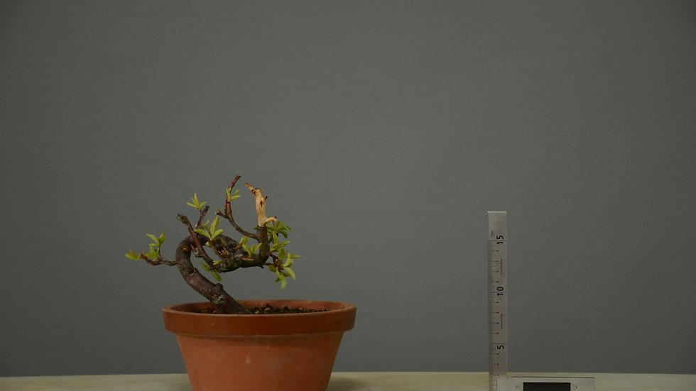 Prunus spinosa #17