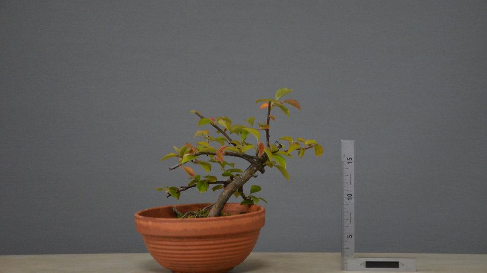 Pseudocydonia sinensis #29