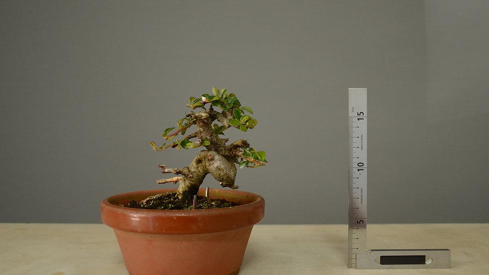 Cotoneaster horizontalis #139