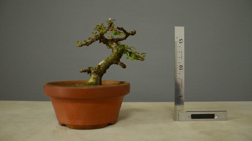 Cotoneaster horizontalis #136