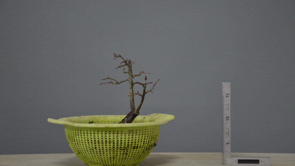 Prunus spinosa #23