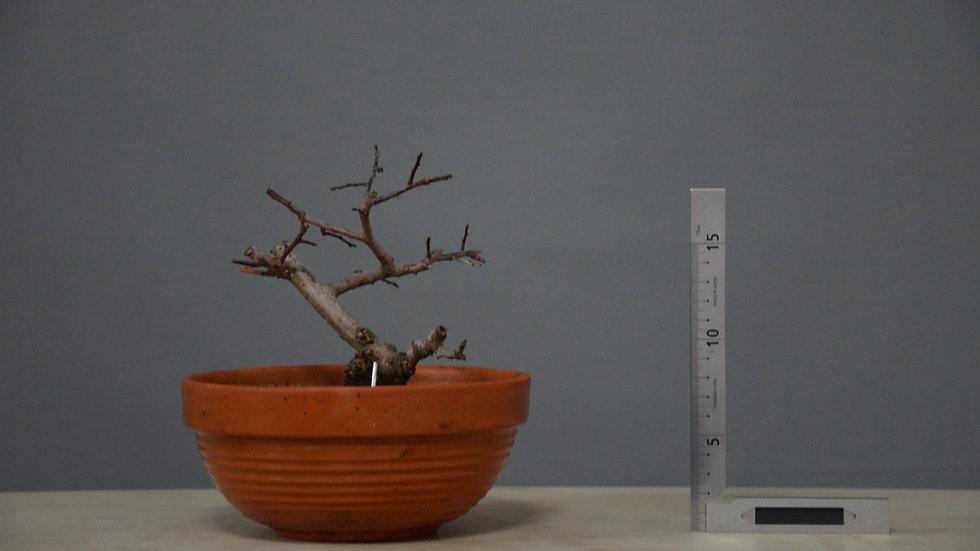 Salix atrocinerea #14