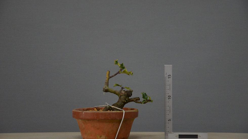 Ilex aquifolium #23