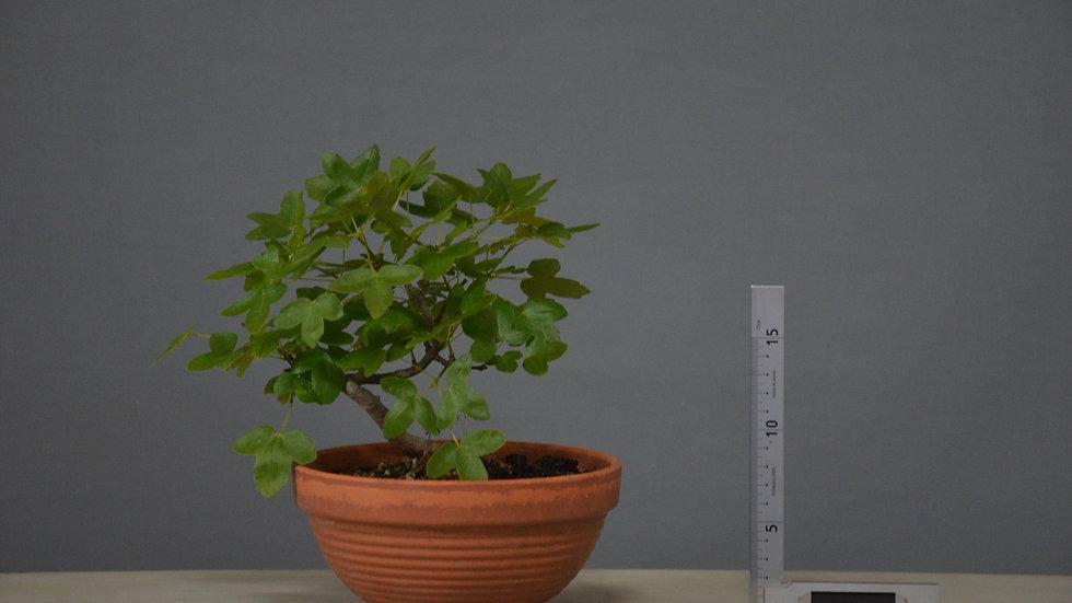 Acer monspessulanum #150