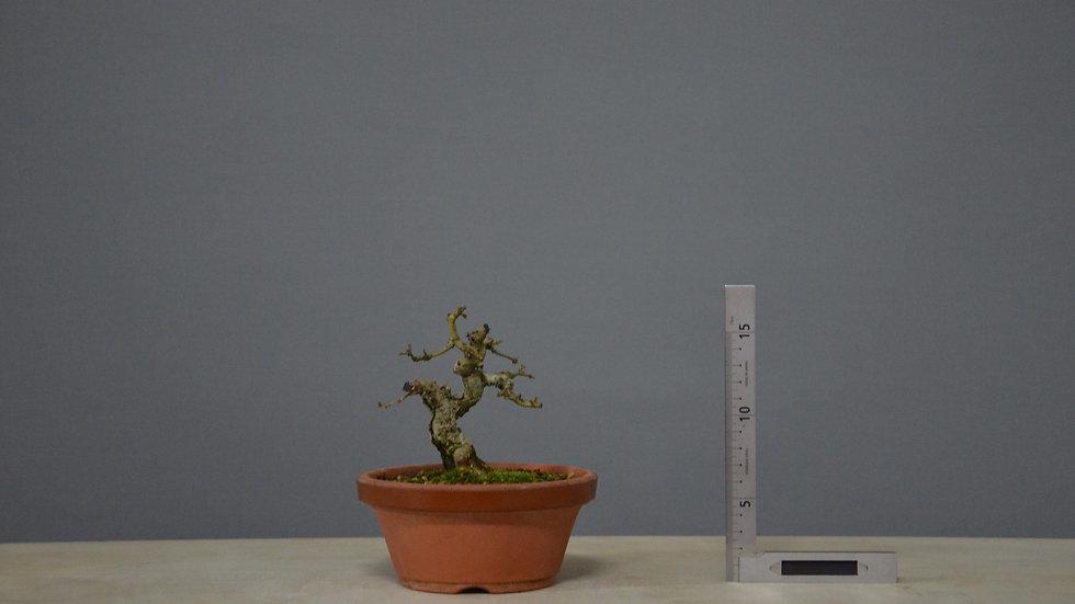 Ligustrum sinensis #1