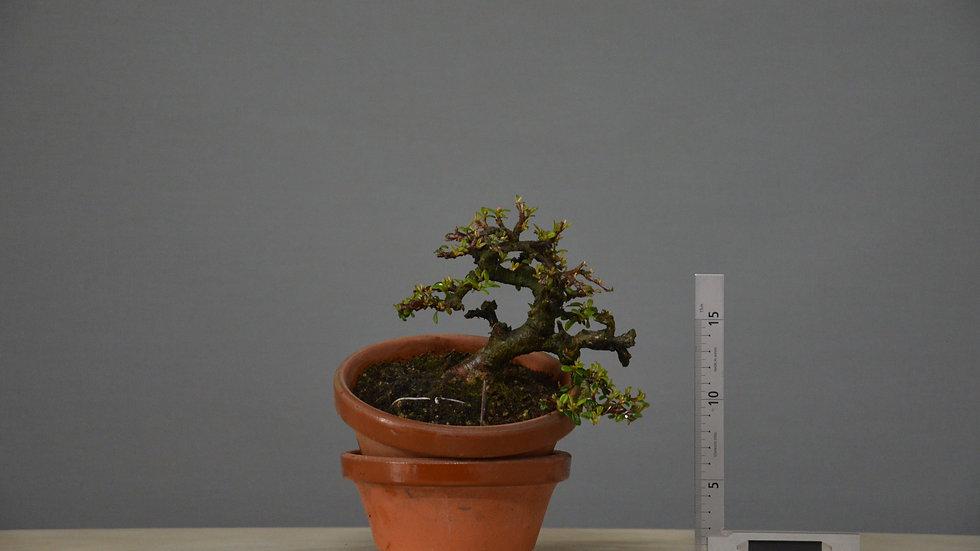 Cotoneaster horizontalis #60
