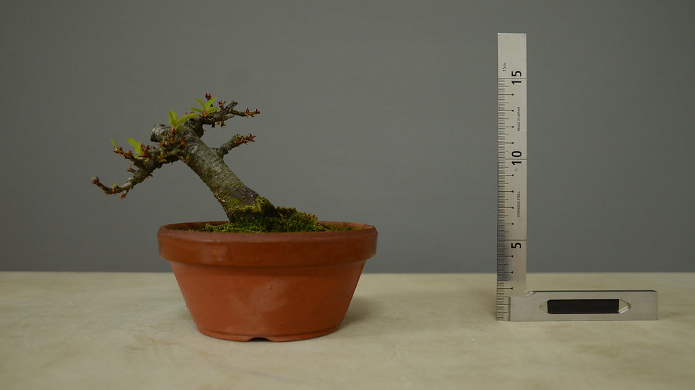Prunus sp #5