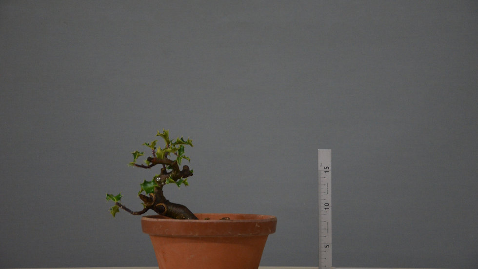 Ilex aquifolium #12