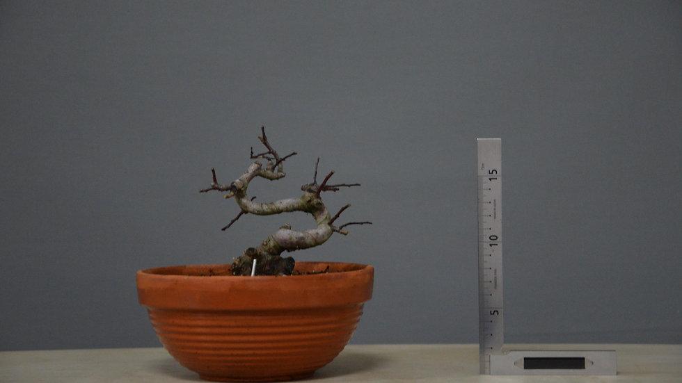 Salix atrocinerea #12