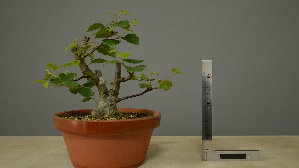 Betula pubescens #22