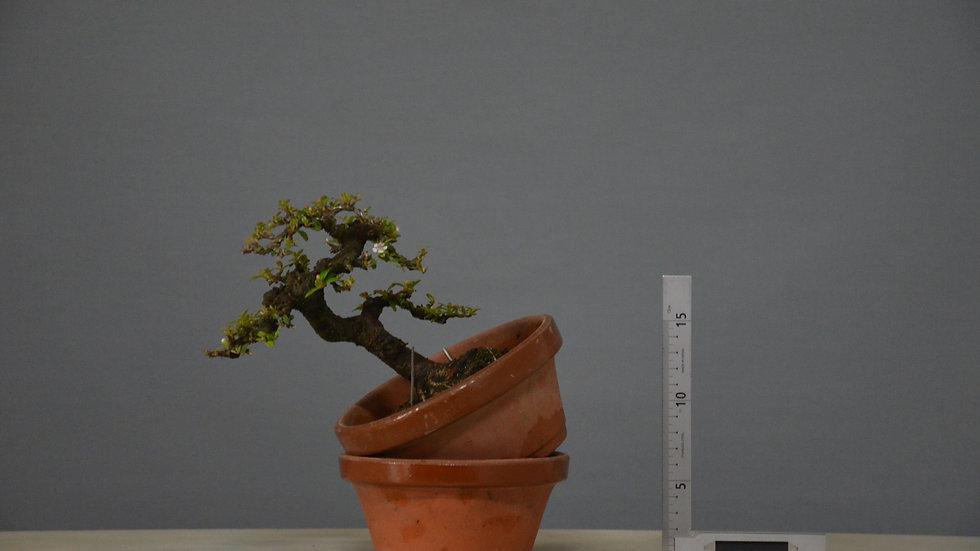 Cotoneaster horizontalis #99