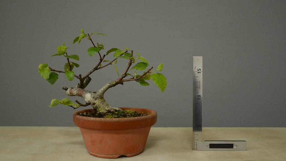 Betula pubescens #13