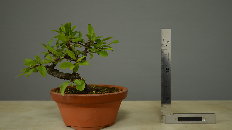 Prunus spinosa #11