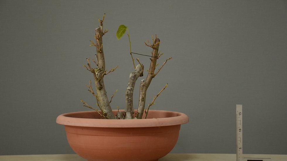 Corylus avellana #3