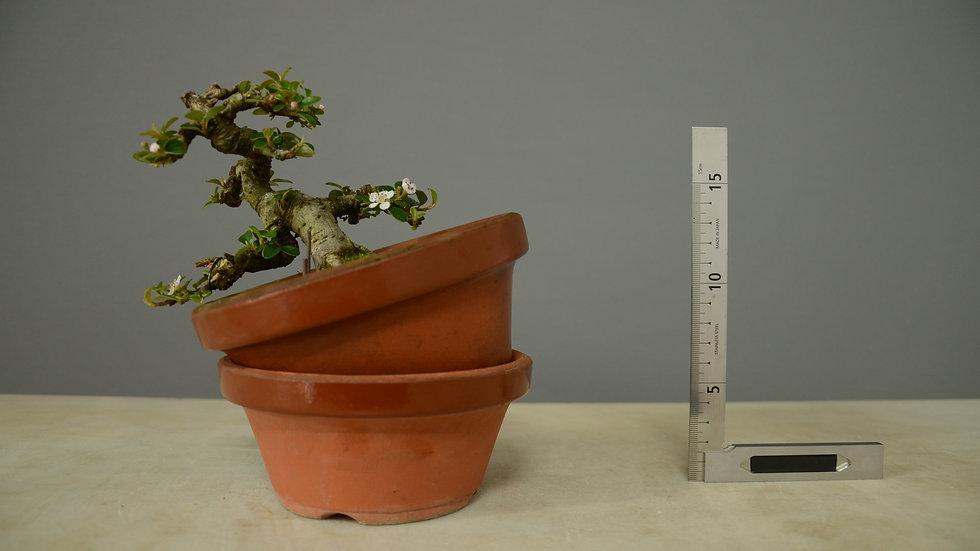 Cotoneaster horizontalis #129