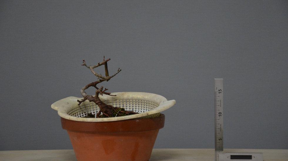 Acer monspessulanum #32