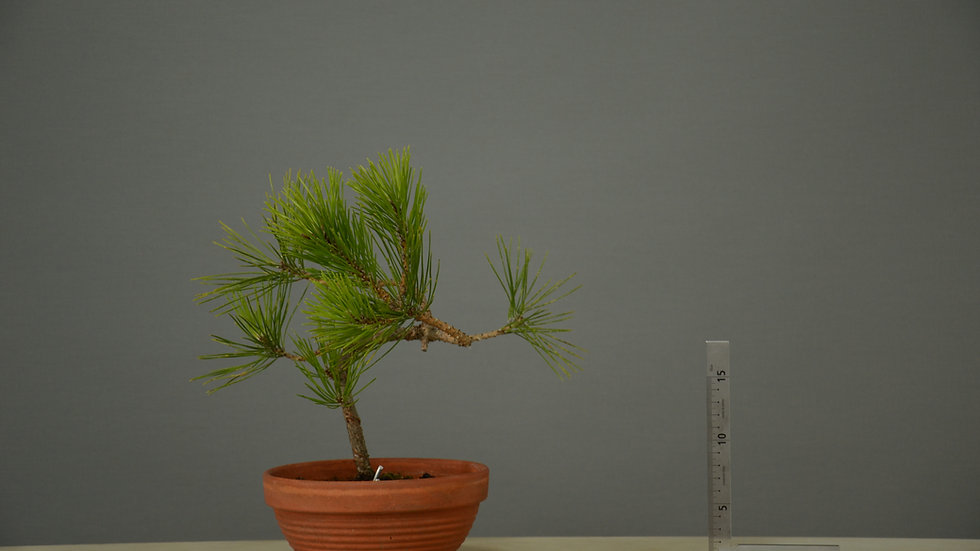 Pinus thunbergii #1