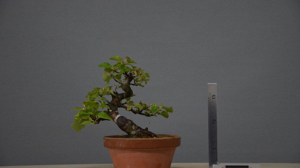 Betula pubescens #5
