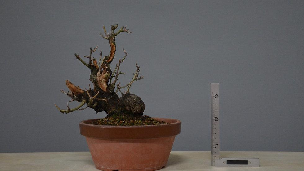 Prunus mahaleb #10